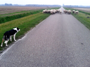 Wandelen_met_schapen_Smaakvol_Slochteren_001