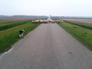Wandelen_met_schapen_Smaakvol_Slochteren_002