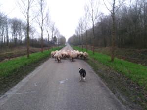 Wandelen_met_schapen_Smaakvol_Slochteren_004