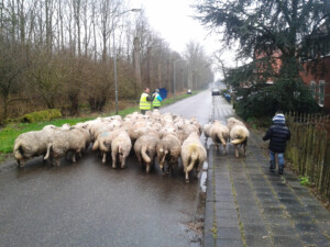 Wandelen_met_schapen_Smaakvol_Slochteren_009
