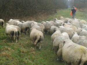 Wandelen_met_schapen_Smaakvol_Slochteren_013