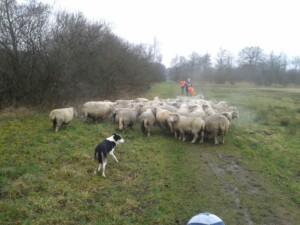 Wandelen_met_schapen_Smaakvol_Slochteren_015