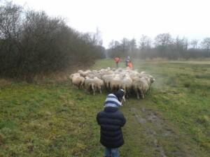 Wandelen_met_schapen_Smaakvol_Slochteren_016