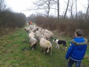 Wandelen_met_schapen_Smaakvol_Slochteren_017